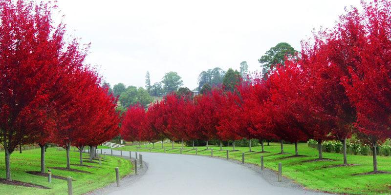 درختان زینتی