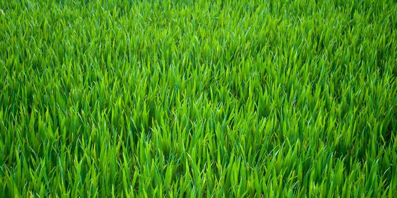 انواع بذر چمن