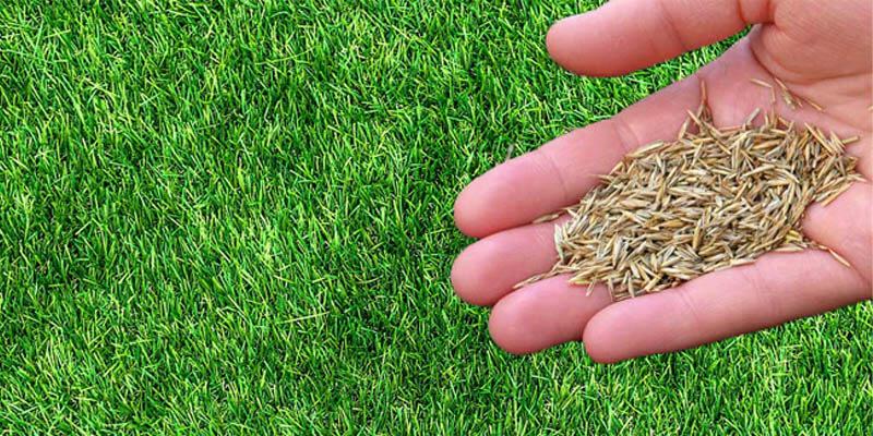 بذر چمن